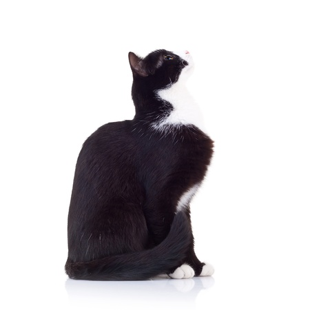 side view of a black and white cat looking up to something with its tail nar body Stock Photo - 15160154