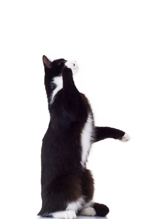 cute black and white cat standing on its hind legs reaching for something on white background Stock Photo - 15160174