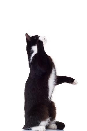 gato negro: lindo gato de pie blanco y negro sobre sus patas traseras para llegar a algo en el fondo blanco