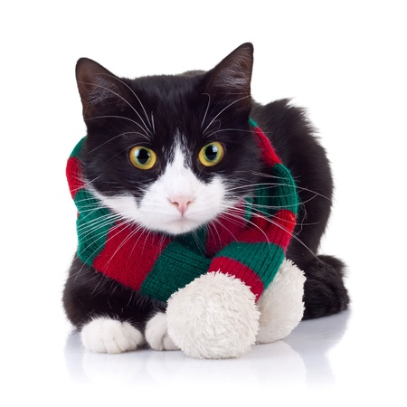 sitting down: adorable black and white cat looking down at something and wearing winter scarf