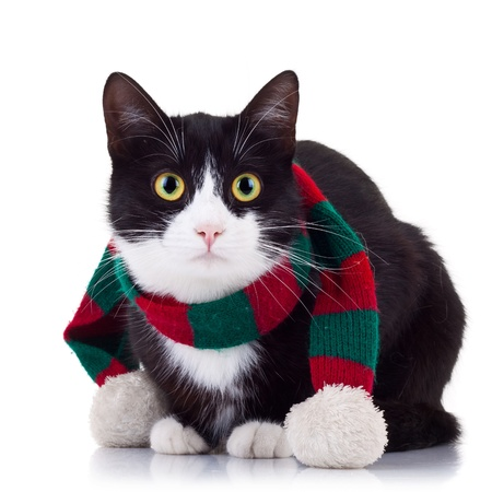 cute black and white cat wearing winter scarf and looking at the camera