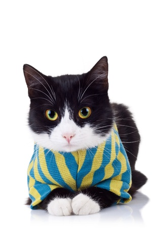 seated black and white cat wearing clothes and looking at the camera on white background Stock Photo - 15160210