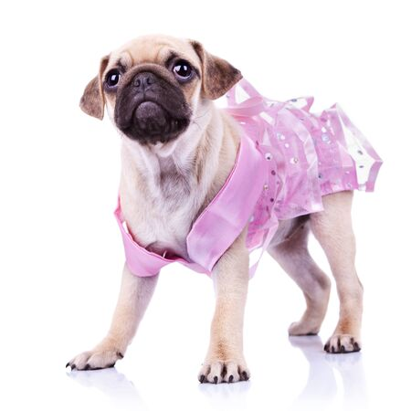 curious little mops puppy dog princess standing on white background. cute pug puppy wearing a pink dress and looking away from the camera photo