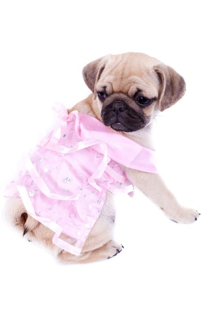 curious pug puppy dog wearing pink dress, sitting on white background. curious little mops princess looking behind Stock Photo - 15627761