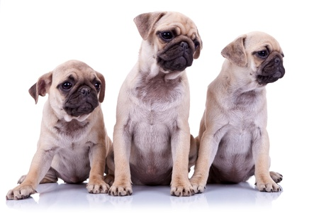 curiously: three seated pug puppy dogs looking curiously to a point to their side