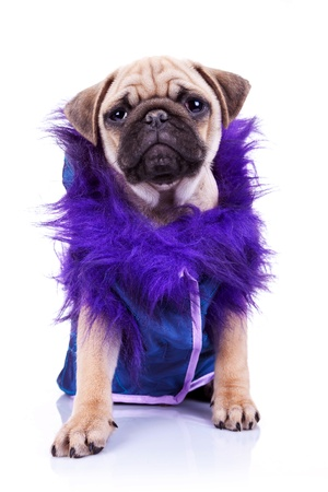 wrinkely: pimp clothed little mops looking at the camera. dressed pug puppy dog on white. Stock Photo