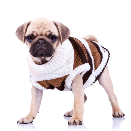 standing pug puppy dog looking to the camera on white background. full body picture of a curious standing mops dog wearing clothes  photo