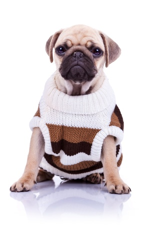 carlin:  pug puppy dog sitting and looking to the camera on white background