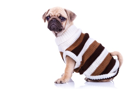 adorable pug puppy dog sitting and looking into the camera on white background. dressed little mops puppy wearing clothes  photo