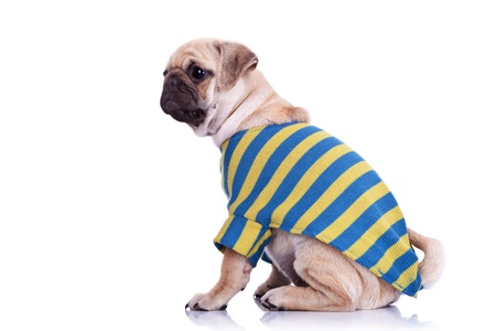 wrinkely: side view of a cute pug puppy dog wearing a cardigan. mops puppy dog wearing cute clothes sitting and looking away from camera Stock Photo