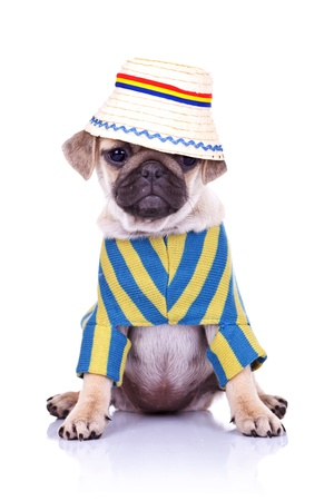 adorable pug puppy dog sitting wearing clothes and a traditional romanian hat looking away from the camera. on white background Stock Photo - 15627763