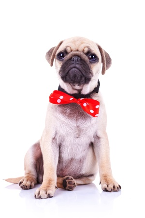 bowtie: cute pug puppy dog with red bowtie sitting and looking into the camera