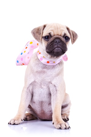 carlin: portrait of a pug puppy dog with a cute pink scarf on its neck sitting on a white background