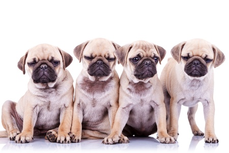 mops: four bored mops puppy dogs sitting and standing on white background. one of them has his eyes closed Stock Photo