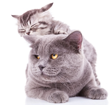 adorable kitten taking a nap on an adult english cat, on white background photo
