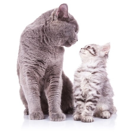 inferior: beautiful portrait of an adult english cat and a kitten looking deep into eachothers eyes with obvious love between them, sitting on a white background