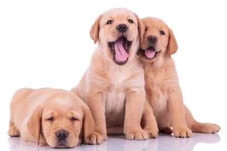 three animals: three labrador retriever puppy dogs, two barking and one looking sleepy on white backgroun Stock Photo