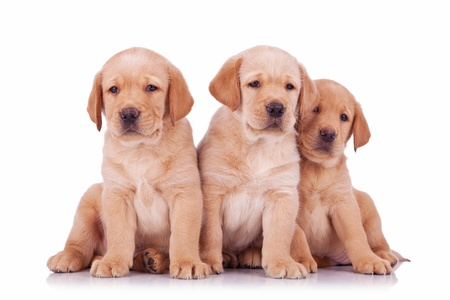 labrador puppy: three labrador retriever puppy dogs sitting and looking at the camera  on white background