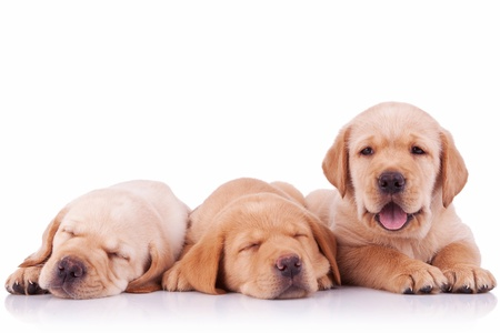labrador puppy: three labrador retriever puppy dogs  on white background, two sleeping and one barking to the camera