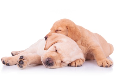 two adorable labrador retriever puppy dogs brothers sleeping on on top of the other on white background photo