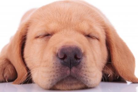 drowsy: cloesup picture of a head of a sleeping labrador retriever puppy dog Stock Photo