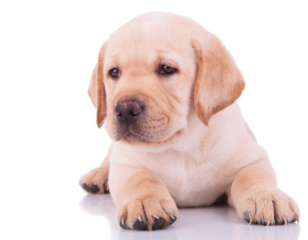 white labrador retriever puppy dog looking away from the camera on white background