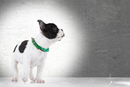 side view of a walking french bulldog puppy looking up at something on gray background photo