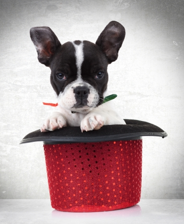 bull dog: adorable french bulldog puppy dog in a red show hat on gray background Stock Photo