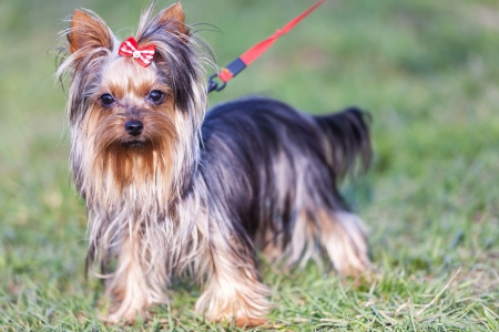 silky terrier: adorable yorkshire terrier on a leash looking at the camera - outdoor picture