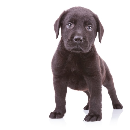 alert black labrador retriever standing on white background and looking at the camera photo