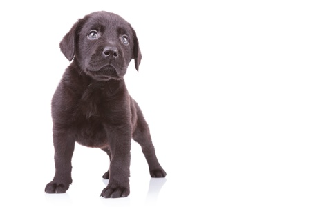 black labrador: standing black labrador retriever  puppy dog looking at something up on white background Stock Photo