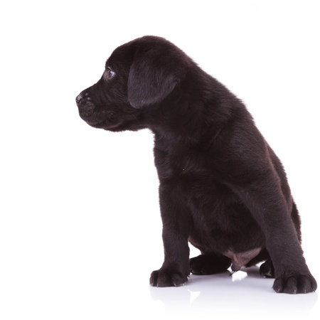 curious black labrador retriever looking to its right side on white background photo