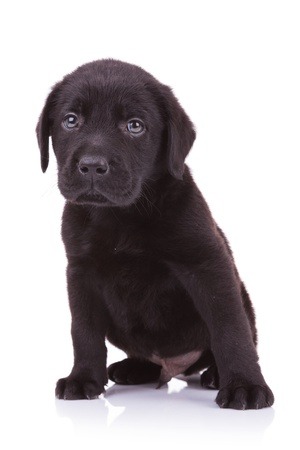animal sad face: sad little labrador retriever puppy dog looking at the camera while sitting down Stock Photo