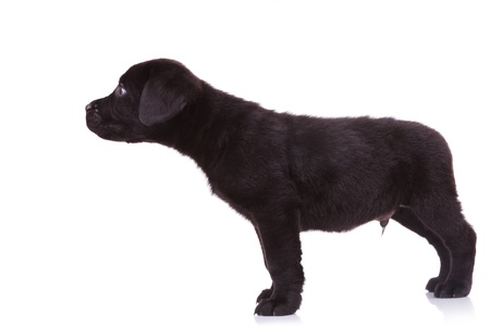 side view of a cute black labrador retriever puppy dog sniffing something on white background photo