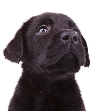 closeup picture of a black labrador retriever puppy dog looking up photo