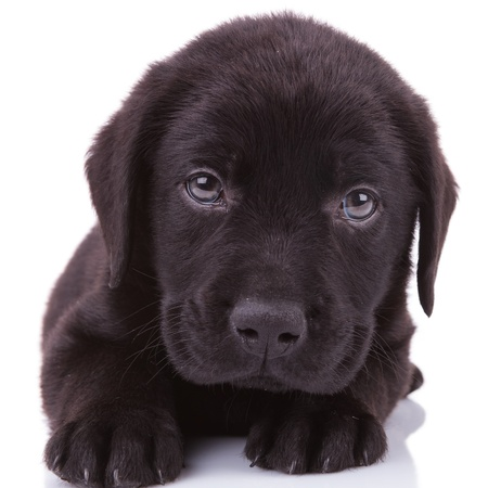 closeup picture of a black labrador retriever puppy dog looking into the camera photo