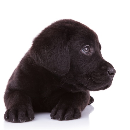 closeup picture of a black labrador retriever puppy dog looking at something to its side photo