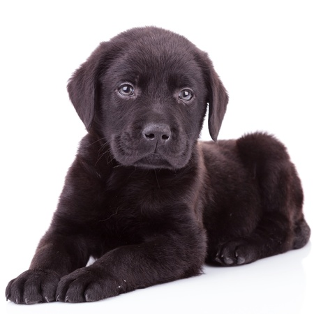 black labrador retriever puppy dog lying down and looking at the camera photo