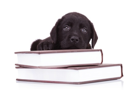 tired and cute black labrador retriever puppy dog lying down on some books photo