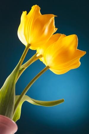 bellow: foto desde abajo de tres tulipanes hermosos frescos en un florero Foto de archivo