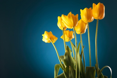 clean colorful image of a bunch of fresh yellow tulips on blue background photo