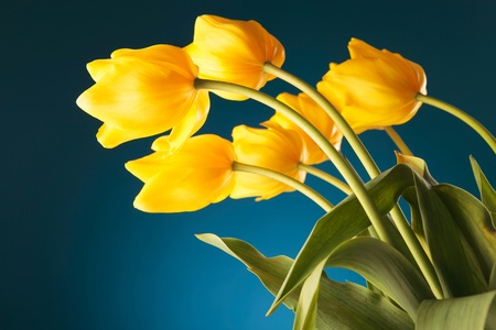 back of a gorgeous bouquet of yellow tulips on blue background photo