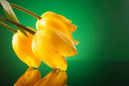 three fresh yellow tulips leaning on a mirror on a green background photo