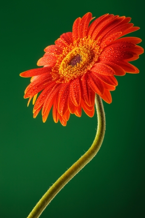 orange gerbera with stem on a green background photo