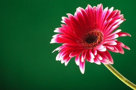 bourgeon: closeup of a red gerbera coming from the corner of the screen on green background Stock Photo