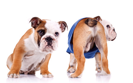 british bulldog: two english bulldog puppies are looking at something, one is sitting and one is standing with tail to the camera