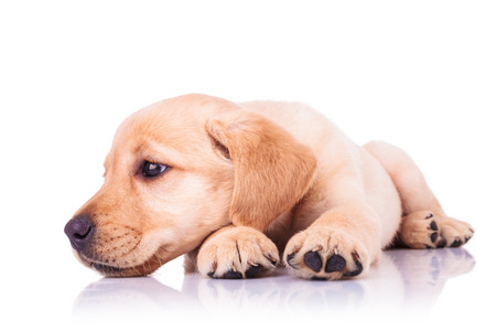 sad little labrador retriever puppy dog with head on paws looks away to its side on white background photo