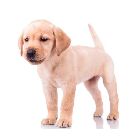 adorable barking little labrador retriever puppy dog standing on white background photo