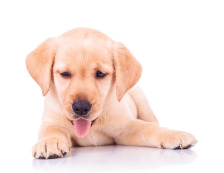 perro labrador: labrador adorable jadeo del perro perdiguero de perro que se acuesta en el fondo blanco Foto de archivo