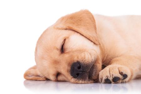 closeup puppy: closeup of a cute little labrador retriever puppy dog sleeping on white background